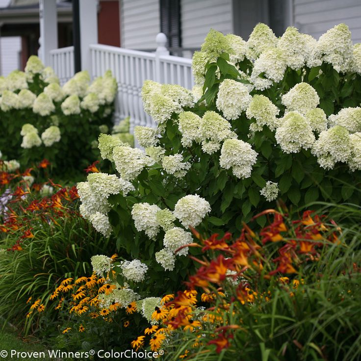 Image result for little lime hydrangea companion plants
