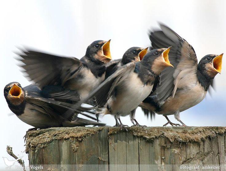 jonge zwaluwen