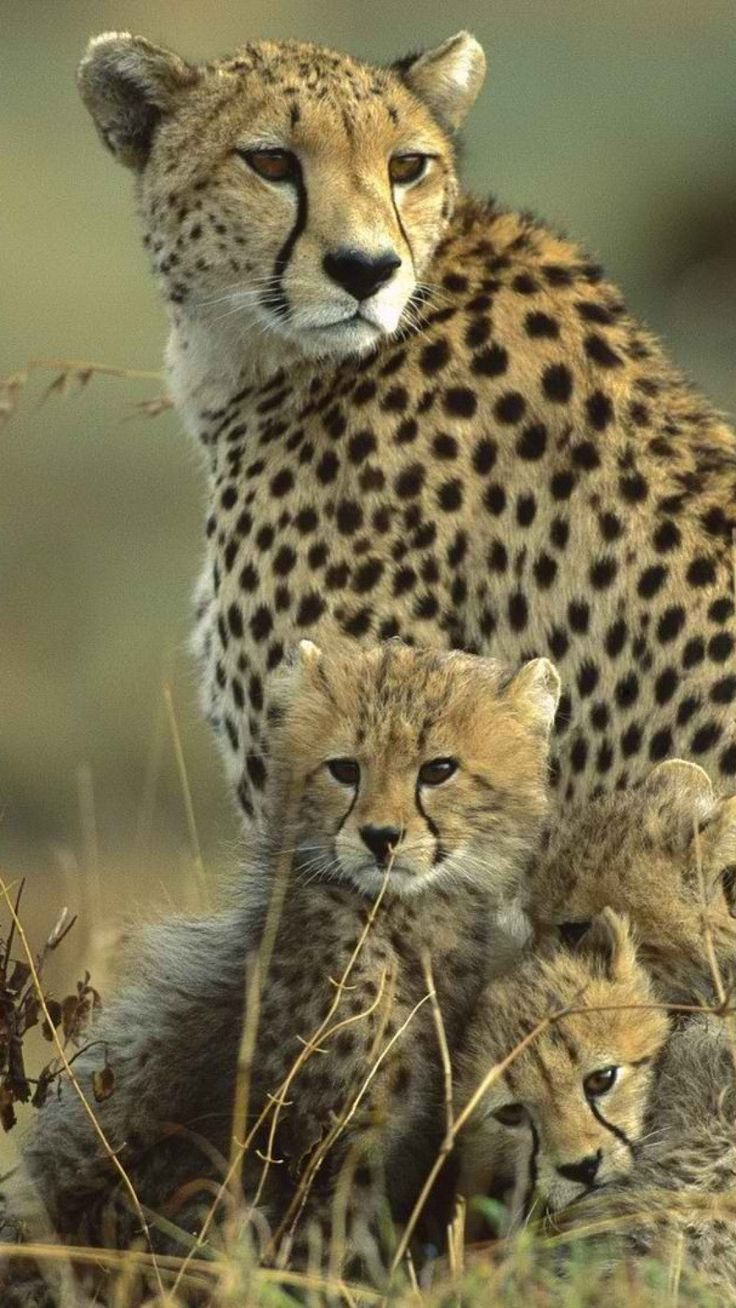 101 best cheetah pictures images on pinterest wild animals