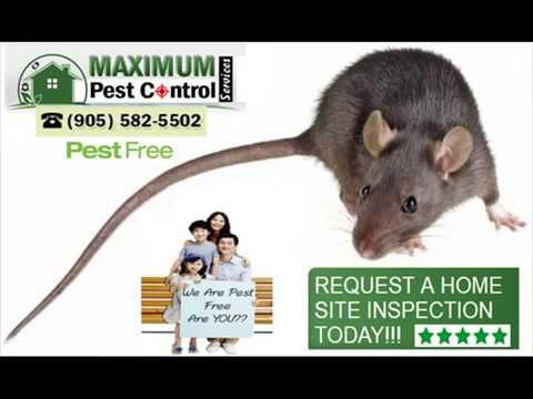 Rat Control Service Company http://ift.tt/1eIZPl4  (905) 582 5502 . Bonded & Insured . Unmarked Vehicles. Effective & Safe Mice Pest Control. Locally Owned & Operated .  Rats Have A Bad Reputation!  Rodents specifically Rats generally carry a negative track record all cross the world well-known as a service providers of chronic illness. It has actually been gained from aiding to trigger disastrous diseases worldwide previous and also existing time. They are one of the most versatile rodents…