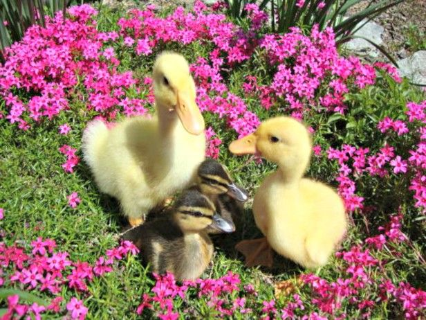 There are dozens of duck species that make perfect backyard birds and pets. Remember that depending on your breed, the size of your duck home may need to be adjusted—Pekin ducks (yellow), for example, will grow to twice the size of a full-grown Mallard (brown).  Click here to find the right breed for you.