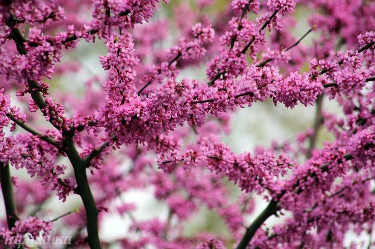 Багрянник/Церцис/Иудино дерево