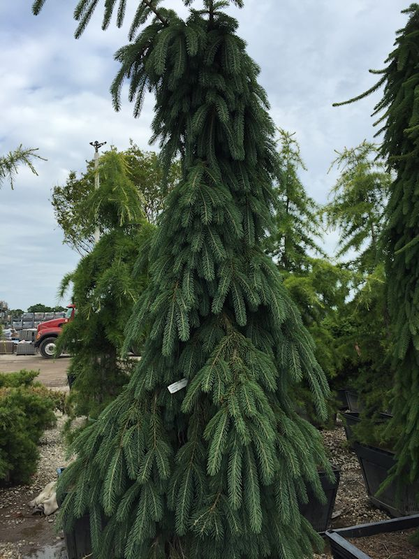 71 best images about evergreen trees shrubs on pinterest for Specimen trees zone 5