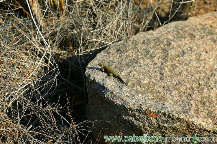 Sceloporus ssp EXPEDICION AL DESIERTO CHILENO — en Chile, La Serena.