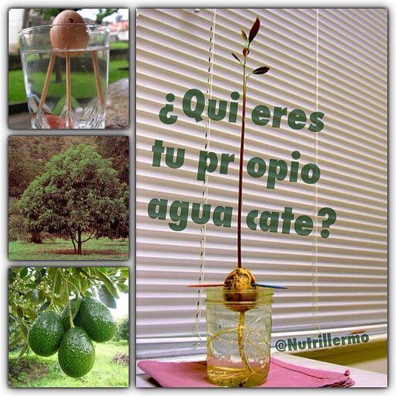 Best 10 aguacate arbol ideas on pinterest rbol de - Plantar aguacate en casa ...
