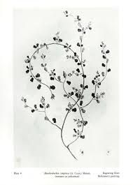Image result for nz native plant drawing