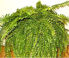 Boston Fern - Scientific Name: Nephrolepis exalta bostoniensis Family: Dryopteridaceae Toxicity: Non-Toxic to Dogs, Non-Toxic to Cats  pic: http://en.wikipedia.org/wiki/Nephrolepis_exaltata_cv._Bostoniensis