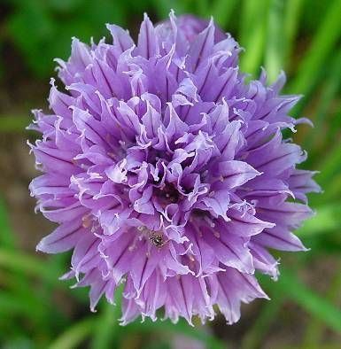 Cultivar Alliums en nuestro jardín 2