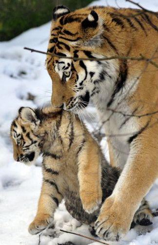 Le 27 janvier dernier, les équipes du zoo de Zlin, en République Tchèque, ont présenté pour la première fois au public les deux petits tigres de Sibérie nés au sein du parc. Les félins ont vu le jour le 6 octobre dernier mais ont vécu leurs premiers mois à l'abri des regards des visiteurs, sous la surveillance accrue des soigneurs.