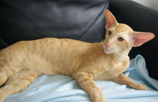 domestic shorthair cat shedding