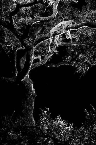 Leopard laying in tree by Heinrich van den Berg on www.digitalgallery.co.za