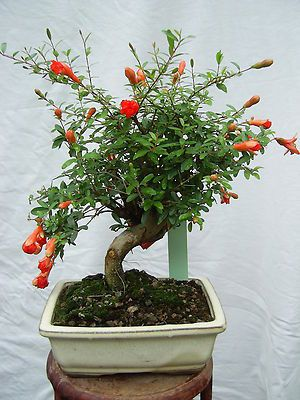punica granatum nana zwerg granatapfel bonsai pinterest bonsai. Black Bedroom Furniture Sets. Home Design Ideas