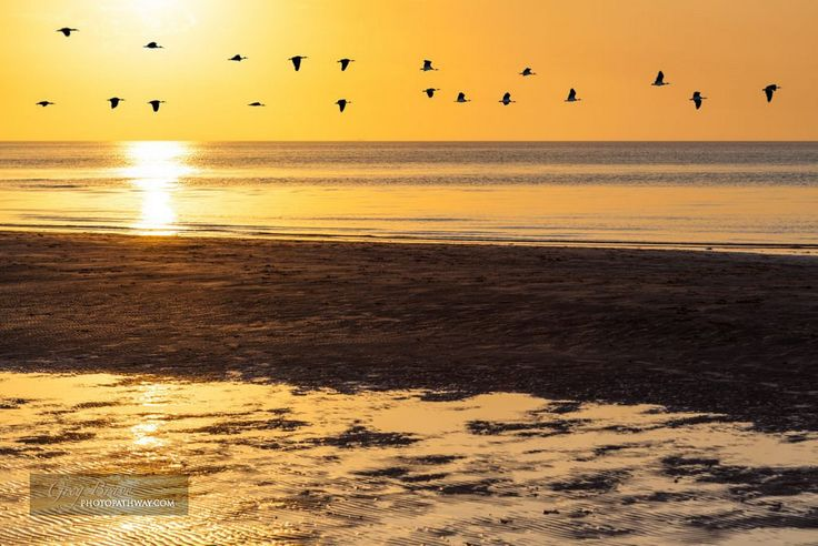Silhouettes of flock of geese flying across orange sky at sunset above ocean water, Victoria, Australia