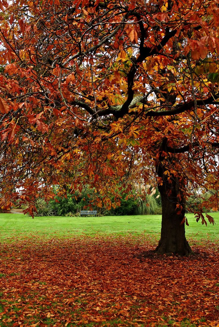 Autumn tree, Timaru, South Canterbury NZ. Photo by Marie Adamson.