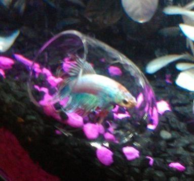 Best 25 betta fish toys ideas on pinterest diy betta for Lifespan of a betta fish in captivity