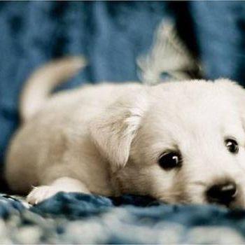 Dogs: Labrador puppy