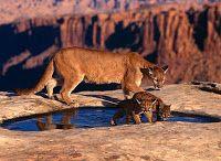 O Mundo Animal: Puma, Sussuarana, Onça Parda, Leão da Montanha....