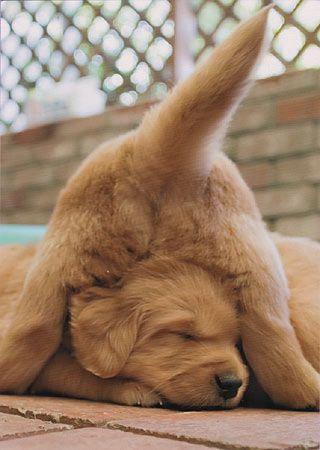 Pile of golden retriever pups
