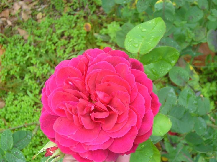 David Austin: Pretty in Pink