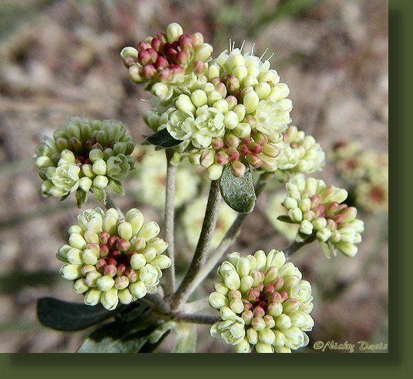 Wild Utah Yellow To Reddish Orange Wildflowers, Sulfur Buckwheat,  Polygonaceae Eriogonum Umbellatum,
