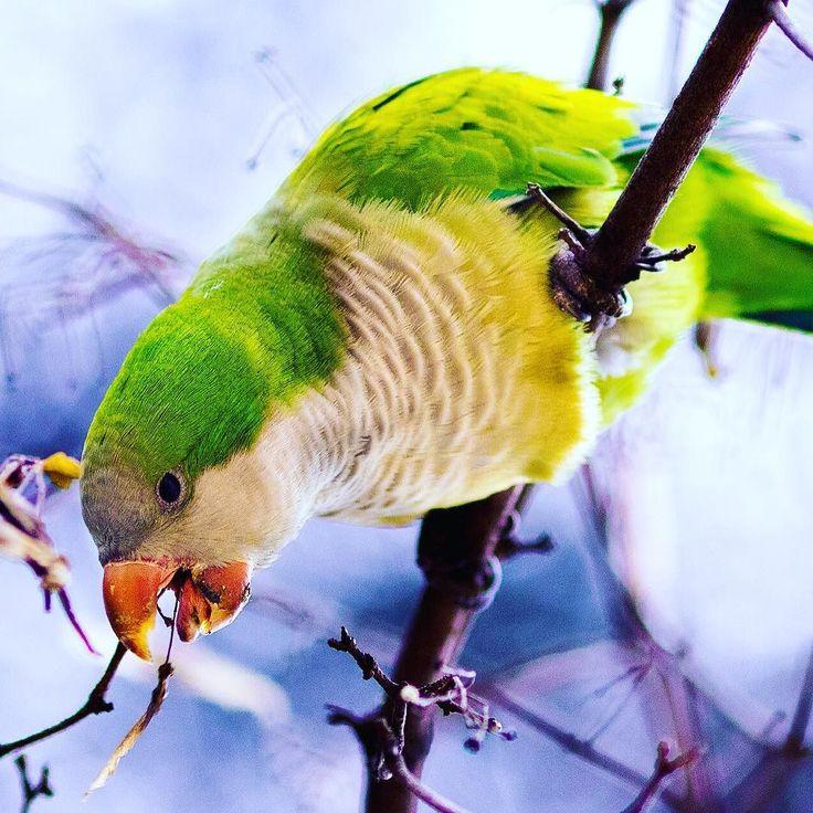 cacatua en parque del retiro  #cacatua #retiro #madrid #bird #portrait #retrado #pajaro #pico #cockatoo #eating #nature