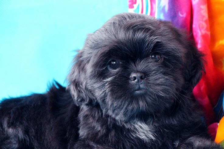 shih-tzu pup