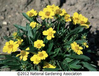 Coreopsis lanceolata 'Goldfink'  NGA Plant Finder :: National Gardening Association