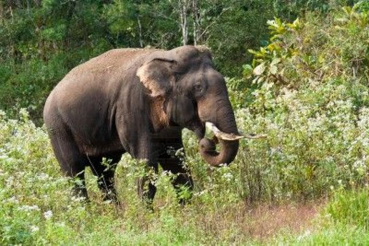 Here are all those interesting and amazing Indian elephant facts for kids that you're looking for such as Indian elephant diet, habitat, reproduction, and its behavior. The Indian elephant (Elephas maximus indicus) is one of the three extant subspecies of Asian elephants and is endemic