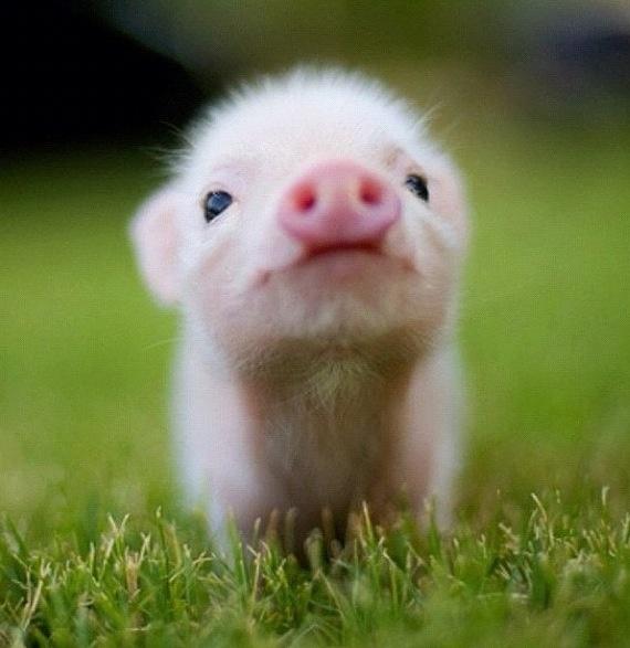 Micro pig - cute | Piggys | Pinterest