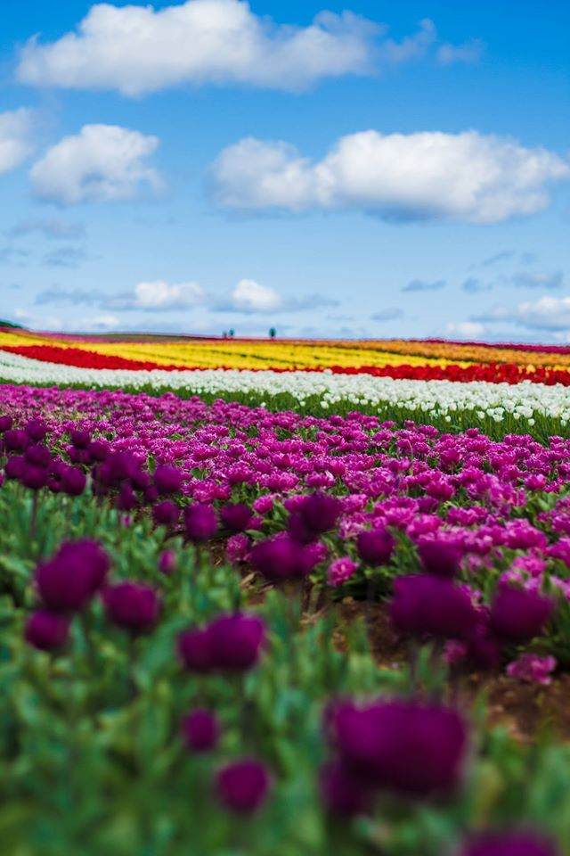 The spectacular region of the North West holds some of the most picturesque fields in the months of spring. Table Cape is known for its vast array of coloured tulips in September through October, and a towering Lighthouse that patrols the fields. #tulips #tablecape #tasmania #discovertasmania  Image Credit: Thomas Gray
