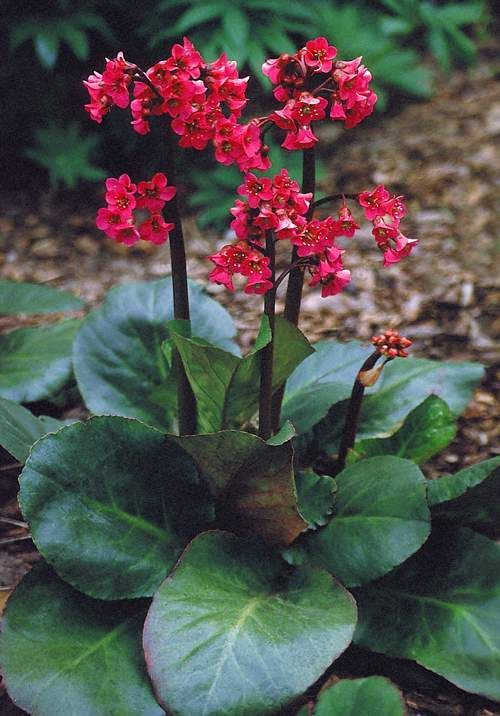 Having large glossy evergreen leaves that turn rosy red in winter, Bergenia 'Winter Glow', is a top choice for year round color. The sturdy bloom stalks are topped in spring with a heavy flush of mage