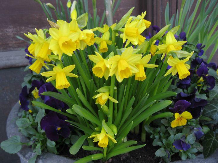 Börja balkonglivet med att göra det fint till påsken. En kruka med penséer och påskliljor blir färgsprakande. Tips ifrån Odla i P1.