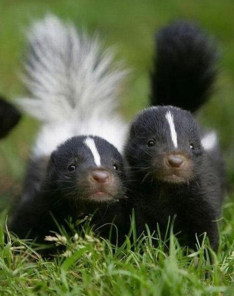 Cute baby skunks... I seen a lady at Petsmart one day with a pet skunk.  So damn cute.