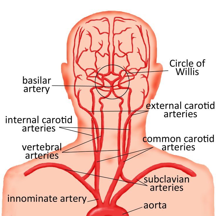 Major arteries of the head, neck, and brain - basilar artery, circle of willis, internal and external carotid arteries, vertebral arteries, subclavian arteries, innominate artery, and aorta.