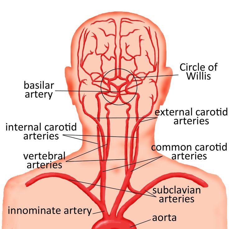 Major arteries of the head, neck, and brain - basilar artery, circle of willis, internal and external carotid arteries, vertebral arteries, subclavian arteries, innominate artery, and aorta.