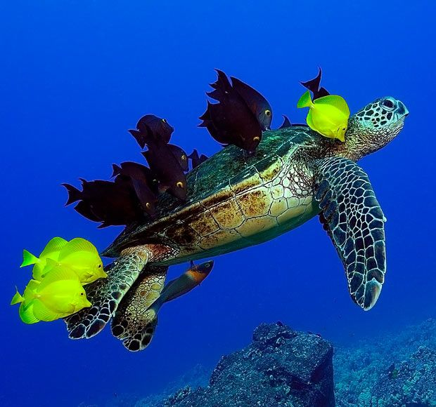 A green sea turtle hovering over a reef is cleaned by a school of fish in Kailua-Kona, Hawaii.