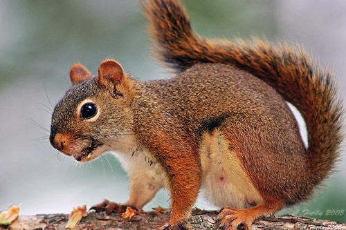 Image result for red squirrel teeth