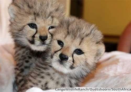 Cheetah cubs at Cango Wildlife Ranch, South Africa Photo Credit: Cango Wildlife Ranch