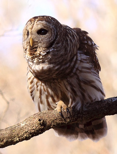 Barred owl(Strix varia). The barred owl is a large typical owl native to North America. Best known as the hoot owl for its distinctive call, it goes by many other names, including eight hooter, rain owl, wood owl, and striped owl.