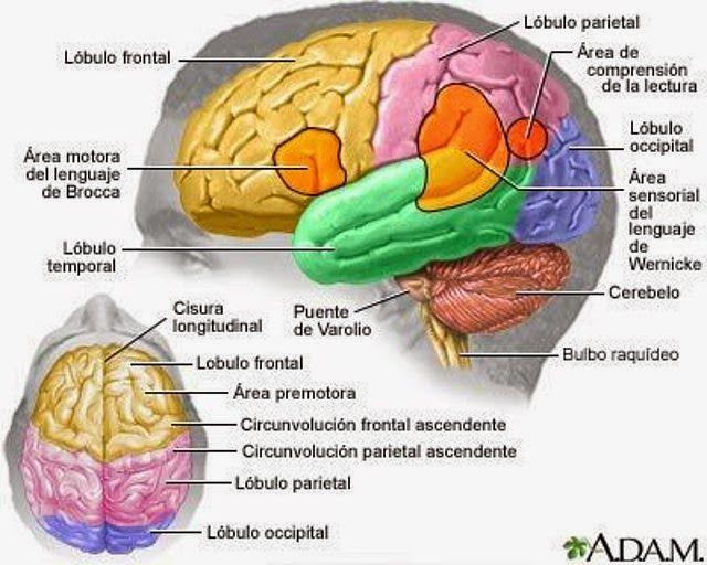 Biopsicología sistémica: Lóbulo frontal: La planificación y la creatividad
