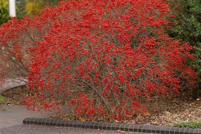 M s de 25 ideas incre bles sobre arbustos de hoja perenne for Arboles jardin hoja perenne