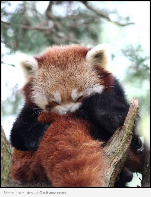 A ball of red panda - goaww.com