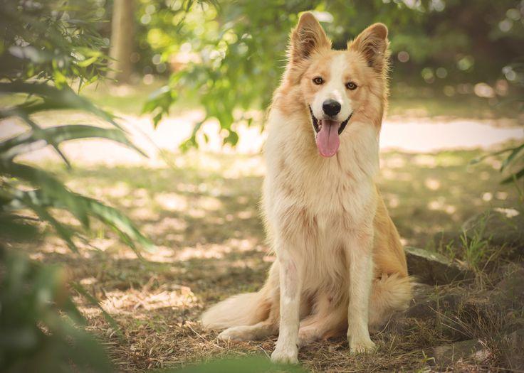 Border Collie - Yarra Valley Pet Photography - Melbourne, Australia
