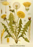Plantas Medicinais, receitas caseiras ervas medicinais, cura pelas ervas, medicina alternativa..::: Planta medicinal cura a resseca