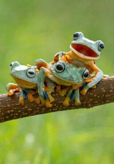 3 LAUGHING FROGS