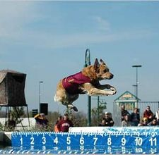 Dock diving - a dog, a pool, a favorite toy - watch 'em fly through the air!