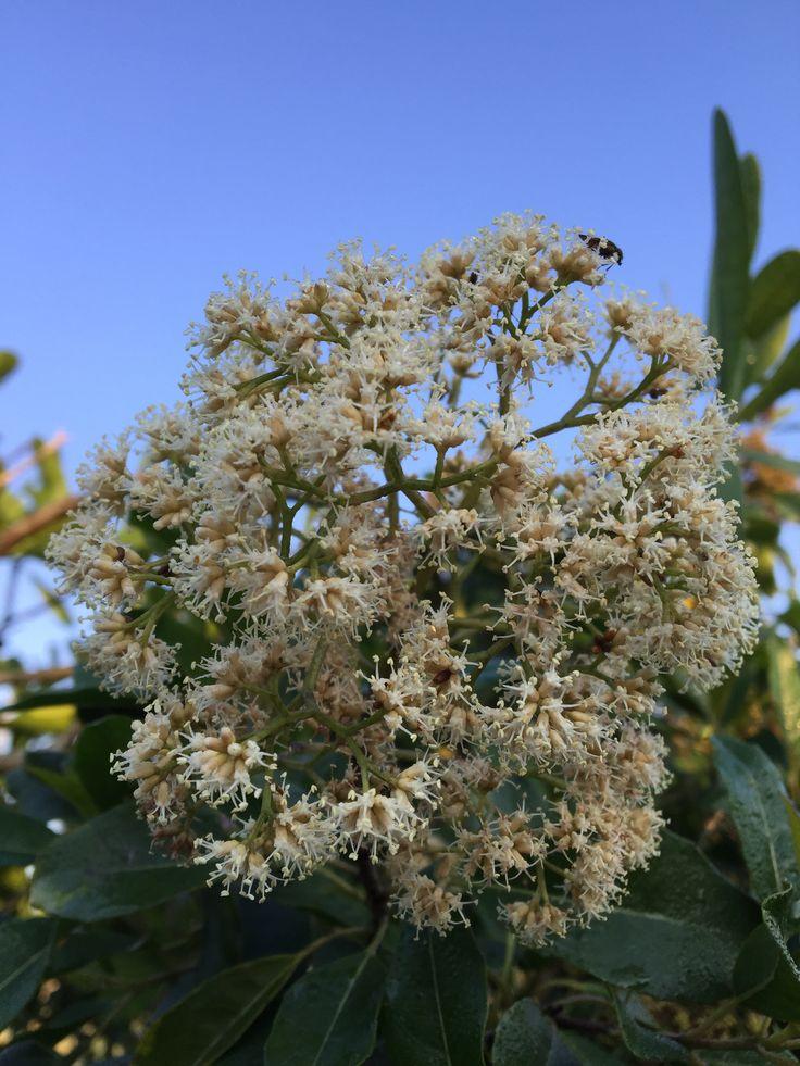 Nuxia floribunda (Forest Elder)