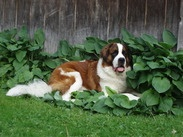 """Harley David is a 7 yr old Saint Bernard belonging to our friend Saints.  Harley has a respiratory illness called """"laryngeal paralysis"""" which has progressed to the point that he struggles to breathe and needs surgery to save his life.   The veterinary surgeon has provided a written estimate and will not accept a payment plan. Visit Tophatter Auction for items being auctioned for Harley or email Shellbee221@aol.com to help Harley !"""
