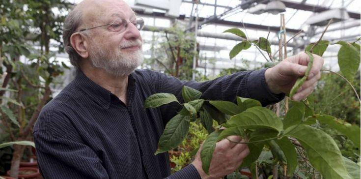 Denis McKenna, ethnopharmacologiste à l'université du Minnesota examine un plant d'Ayahuasca cultivé dans les serres de l'établissement.