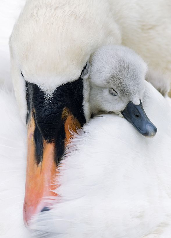 <3 This is so sweet... mother and ugly (not really) duckling bond.... I FEEL THE TEARS STARTING!